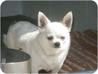 Chihuahua/Chihuahua Mix Dog for adoption in Norwalk, Ohio - Charlie