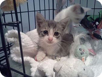 Domestic Shorthair Kitten for adoption in East Brunswick, New Jersey - Romeo