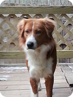 Australian Shepherd/Shepherd (Unknown Type) Mix Dog for adoption in Portland, Maine - Rango