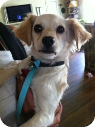 Spaniel (Unknown Type) Mix Dog for adoption in Encino, California - Sandy