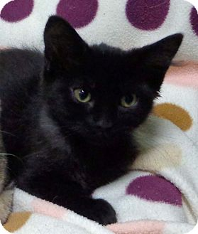 Domestic Mediumhair Kitten for adoption in Thousand Palms, California - smudge