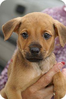 Black Mouth Cur/Labrador Retriever Mix Puppy for adoption in Englewood, Florida - McKinley