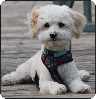 Maltese/Poodle (Miniature) Mix Puppy for adoption in Covina, California - Dusty