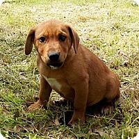 Adopt A Pet :: GUMBO - Glastonbury, CT
