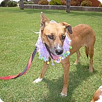 Adopt A Pet :: Foxy - Scottsdale, AZ