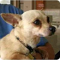 Adopt A Pet :: HoneyBun - Kingwood, TX
