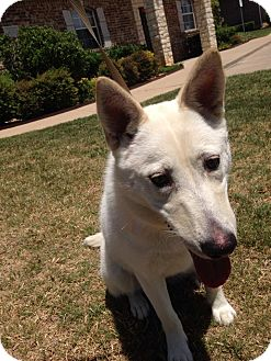 German Shepherd Dog/Husky Mix Dog for adoption in Fort Worth, Texas - Pandora