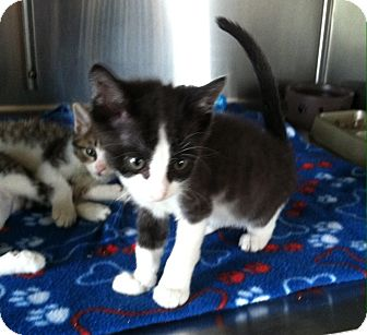 Domestic Shorthair Kitten for adoption in Greensburg, Pennsylvania - Kona