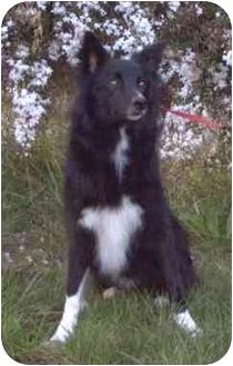 Border Collie Dog for adoption in Phelan, California - Courage