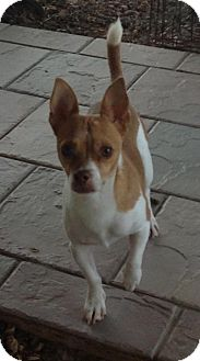 Chihuahua Mix Dog for adoption in Phoenix, Arizona - Clifford