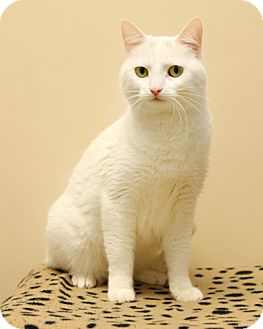 Domestic Shorthair Cat for adoption in Bellingham, Washington - Juneau