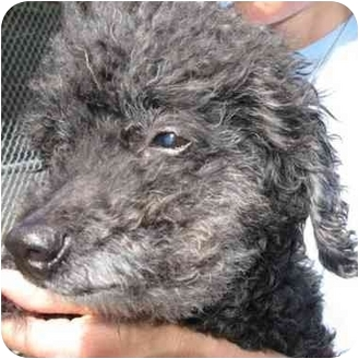 Poodle (Miniature) Mix Dog for adoption in Berkeley, California - Ann Marie