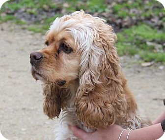 Cocker Spaniel Dog for adoption in Stamford, Connecticut - COCO - gorgeous girl