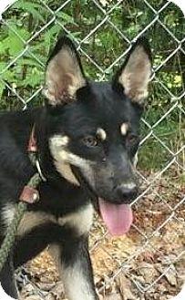 German Shepherd Dog Mix Puppy for adoption in Brattleboro, Vermont - Josie