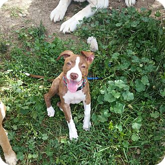 American Pit Bull Terrier/Basenji Mix Puppy for adoption in Loveland, Colorado - Mable