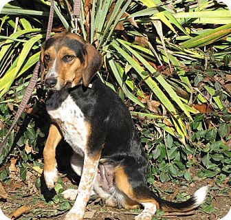 Beagle/Hound (Unknown Type) Mix Dog for adoption in Oakland, Arkansas - Louise