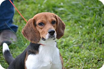 Beagle Dog for adoption in Pikeville, Maryland - Hannah