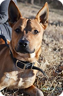 Australian Cattle Dog/Pit Bull Terrier Mix Dog for adoption in Stillwater, Oklahoma - Dalton