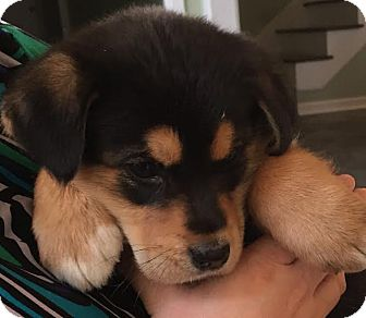 Bernese Mountain Dog/Shepherd (Unknown Type) Mix Puppy for adoption in HAGGERSTOWN, Maryland - Carson