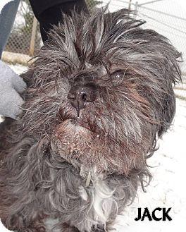 Shih Tzu Mix Dog for adoption in Lapeer, Michigan - JACK--AVAIL 3/7