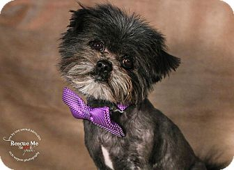 Shih Tzu Mix Dog for adoption in Pittsburgh, Pennsylvania - Chewie