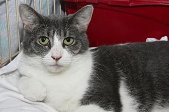 Domestic Shorthair Cat for adoption in Columbus, Ohio - Naomi
