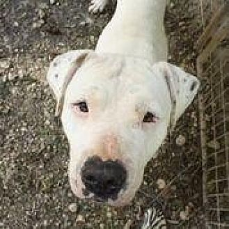 American Bulldog Mix Dog for adoption in Hankamer, Texas - Casper