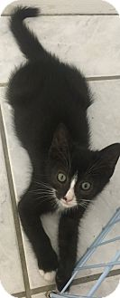 Domestic Shorthair Kitten for adoption in Tampa, Florida - Carson