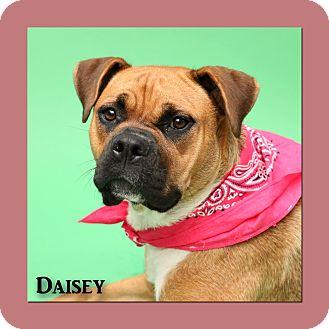 Boxer Mix Dog for adoption in Aiken, South Carolina - Daisey