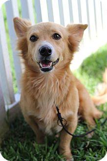 Corgi Mix Dog for adoption in Waipahu, Hawaii - Fox