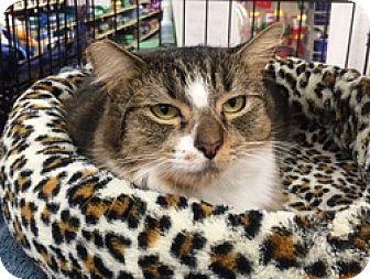 Domestic Mediumhair Cat for adoption in Houston, Texas - Miss Sally Scruffles