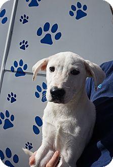 Labrador Retriever/Golden Retriever Mix Puppy for adoption in Oviedo, Florida - Riley