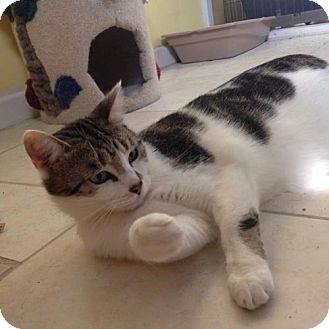 Domestic Shorthair Cat for adoption in Hudson, Florida - Angel
