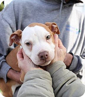 Pit Bull Terrier Mix Puppy for adoption in Greensboro, Maryland - Porter