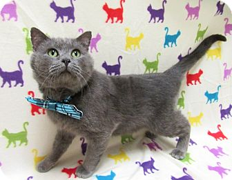 Russian Blue Cat for adoption in Lexington, North Carolina - DAVY JONES