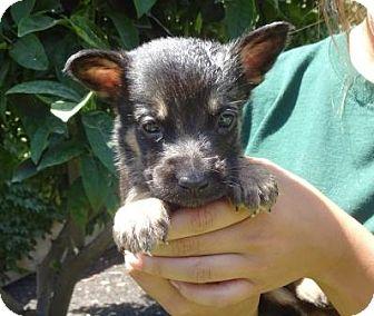 German Shepherd Dog Mix Puppy for adoption in Lathrop, California - Grover