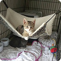 Adopt A Pet :: Yoda - Trevose, PA