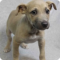 Adopt A Pet :: Pops - Westminster, CO