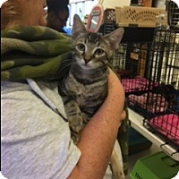 Adopt A Pet :: Stripes - Kennedale, TX