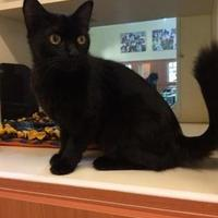 Domestic Mediumhair/Domestic Shorthair Mix Cat for adoption in Rochester, Minnesota - Midnight
