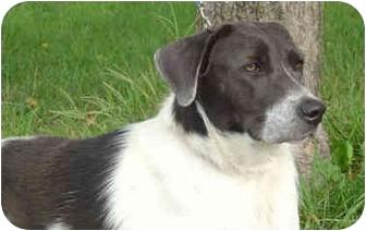 Springer Spaniel Mix Dog for adoption in Overland Park, Kansas - Meg