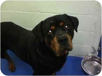 Rottweiler Dog for adoption in Milford, Connecticut - Rudy