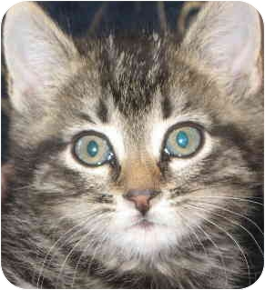 Domestic Shorthair Kitten for adoption in Tracy, California - Tigger-ADOPTED
