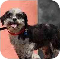 Shih Tzu Mix Dog for adoption in Denver, Colorado - Sugar Bean