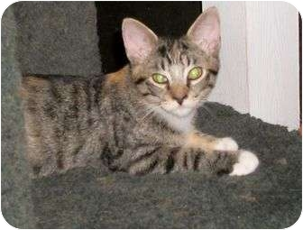 Domestic Shorthair Cat for adoption in Cocoa, Florida - Karman
