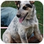 Photo 3 - Australian Cattle Dog/Australian Shepherd Mix Puppy for adoption in Prince William County, Virginia - cody