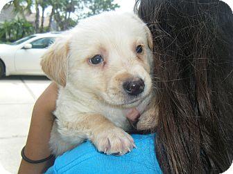 Labrador Retriever Mix Puppy for adoption in Largo, Florida - CHARM