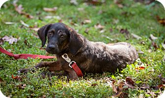 Hound (Unknown Type) Mix Dog for adoption in Woodbury, New Jersey - Lillian
