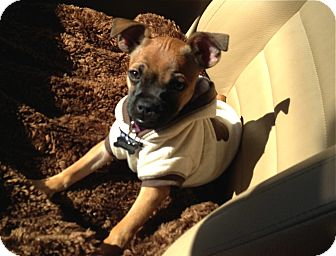 Pug/Chihuahua Mix Puppy for adoption in Los Angeles, California - Daphne