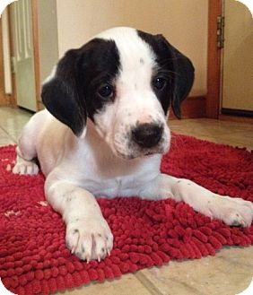 Beagle Mix Puppy for adoption in Richmond, Virginia - Ginger